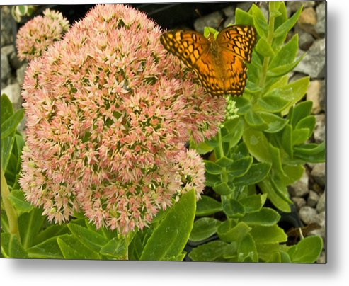 Fritillary Metal Print featuring the photograph Fritillary On Flower by Douglas Barnett