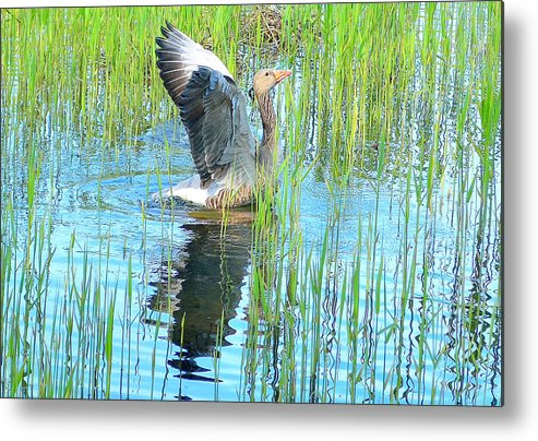 Goose Metal Print featuring the photograph Grand Spring Goose  by Adie F