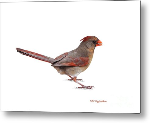 female Cardinal Metal Print featuring the photograph Lady Cardinal by DiDi Higginbotham