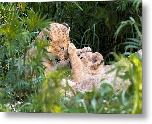 Lion Metal Print featuring the photograph Lion Cubs At Play by Randy Gebhardt