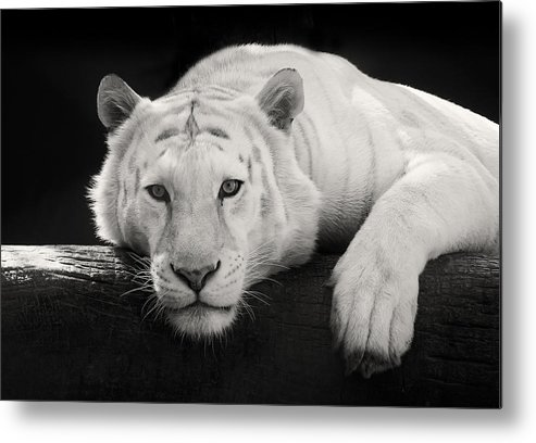 White Tiger Metal Print featuring the photograph Mohan The White Tiger by Stephanie McDowell