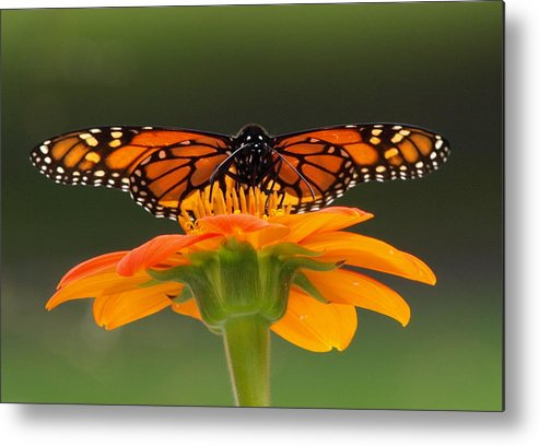 Monarch Metal Print featuring the photograph Monarch Orange by Peter Gray