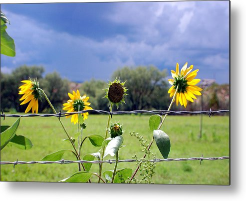 Photography Metal Print featuring the photograph Monsoon Sunflowers by Heather S Huston
