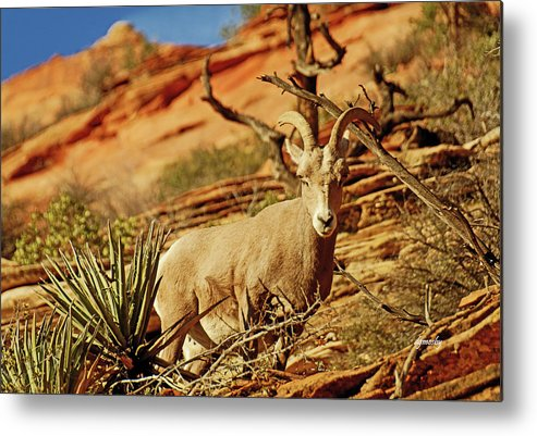 Bighorn Metal Print featuring the photograph My Home You Can Go Now 7309 by David Mosby