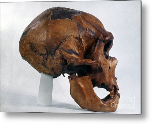 Artifact Metal Print featuring the photograph Neanderthal Skull by Granger