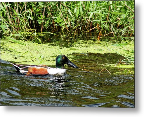 Northern Shoveler Metal Print featuring the photograph Northern Shoveler Drake by Norman Johnson