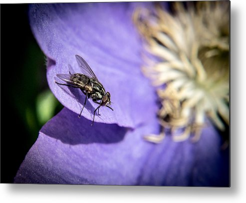 Probosis Metal Print featuring the photograph Odd Fly On Clematis by Douglas Barnett