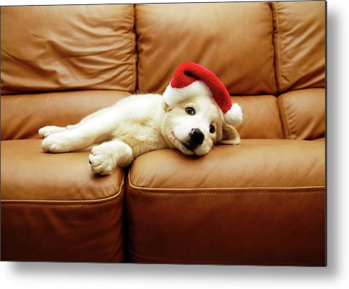Horizontal Metal Print featuring the photograph Puppy Wears A Christmas Hat, Lounges On Sofa by Karina Santos