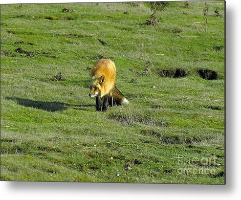 Fox Metal Print featuring the photograph Red Fox by Louise Magno