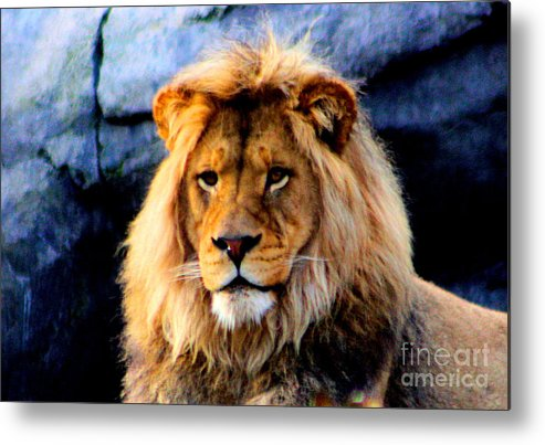 Lion Metal Print featuring the photograph Return Of The King by Nick Gustafson