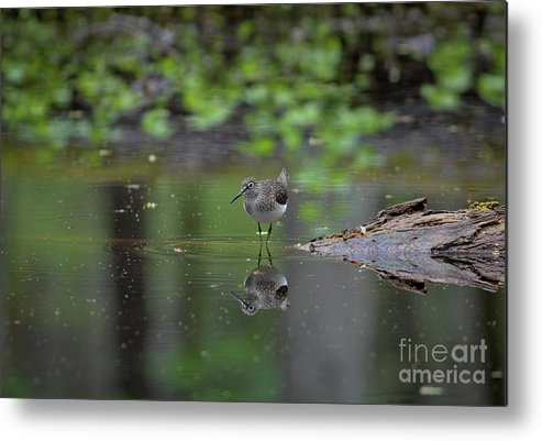Sandpiper Metal Print featuring the photograph Sandpiper In The Smokies by Douglas Stucky