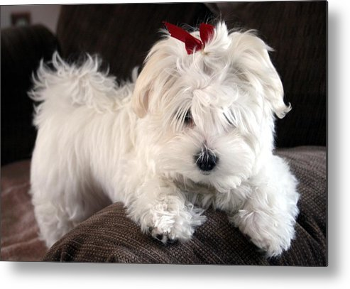 Maltese Puppy Dog Metal Print featuring the photograph Shayla The Maltese Pup by BJ Redmond