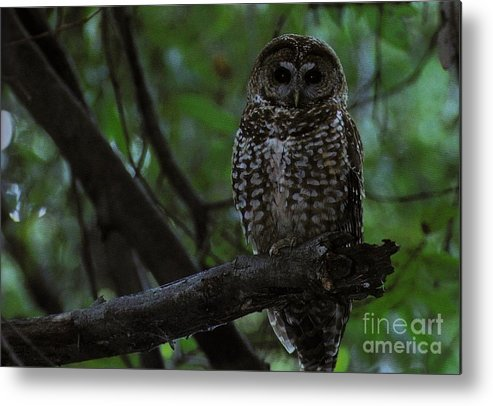 Spotted Owl Metal Print featuring the photograph Spotted Owl by Diane Kurtz