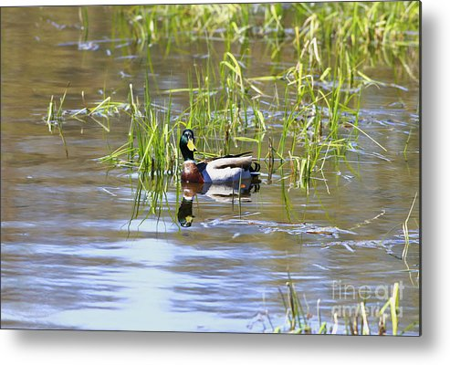 Bird Metal Print featuring the photograph Spring Mallard 2010 by Deborah Benoit
