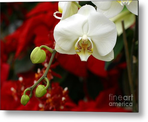 Orchid Metal Print featuring the photograph Sunday Afternoon Orchid by Steve Augustin