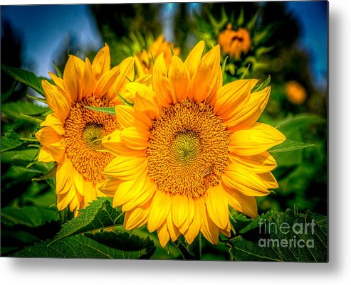 Sunflower Metal Print featuring the photograph Sunflower 10 by Larry White
