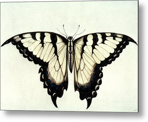 1585 Metal Print featuring the photograph Swallow-tail Butterfly by Granger