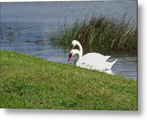Swan Metal Print featuring the photograph Swan Pair As Photographed by Rosalie Scanlon