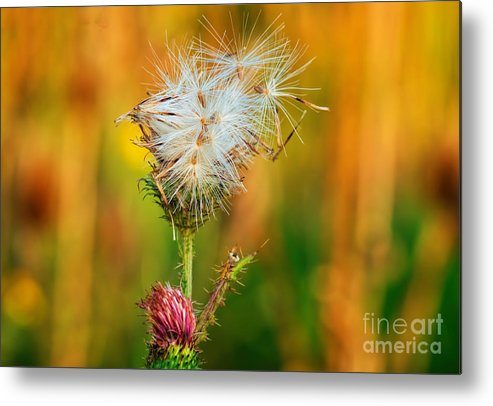 Bloom Metal Print featuring the photograph Thistle Seeds by Les Palenik