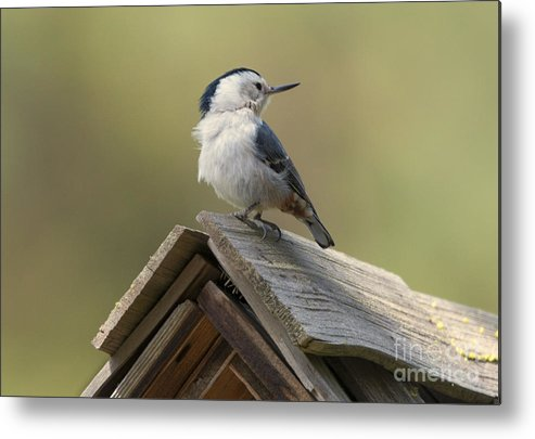 White-breasted Nuthatch Metal Print featuring the photograph White-breasted Nuthatch by Mike Dawson