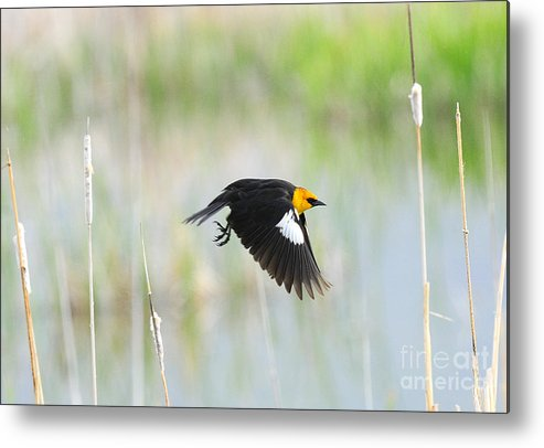 Bird Metal Print featuring the photograph Yellow Headed Blackbird On The Wing by Dennis Hammer