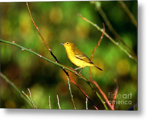 Yellow Warbler Metal Print featuring the photograph Yellow Warbler Galapagos Islands by Thomas R Fletcher