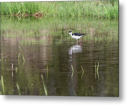Black-necked Stilt (himantopus Mexicanus) Metal Print featuring the photograph Black-necked Stilt 2018-1 by Thomas Young