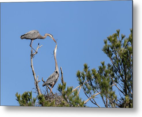 Great Blue Herons Metal Print featuring the photograph Building For Future Generations 2019-1 by Thomas Young