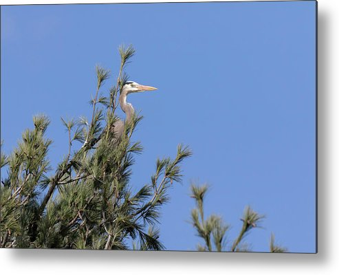 Great Blue Heron Metal Print featuring the photograph Great Blue Heron 2019-2 by Thomas Young