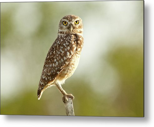 Pernambuco State Metal Print featuring the photograph Owl On Blurred Background by © Jackson Carvalho