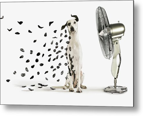 Pets Metal Print featuring the photograph Spots Flying Off Dalmation Dog by Gandee Vasan