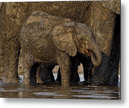 Zimbabwe: Waterhole Metal Print featuring the photograph Elephant Calf Enjoying A Mud Bath. by Bruce Colin