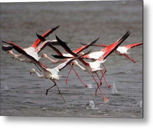African Wildlife Metal Print featuring the photograph Flamingoes In Flight by Dennis Cox