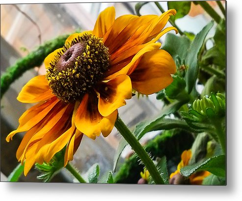 Phone Pics Metal Print featuring the photograph Greenhouse Daisy by Georgette Grossman