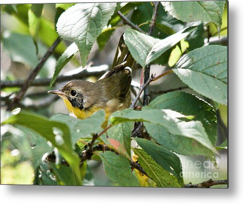 Common Yellowthroat Metal Print featuring the photograph Juvenile Common Yellowthroat by Cheryl Baxter