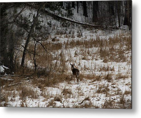 White Tailed Deer Metal Print featuring the photograph Out Of The Tangle by Thomas Young