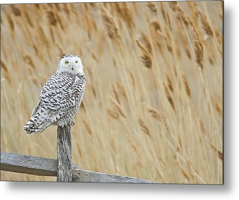 Snowy Owl Metal Print featuring the photograph Plum Island Snowy Owl On A Fence Post by John Vose
