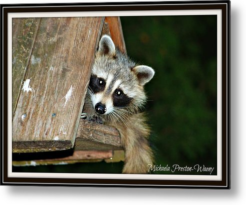 Nature Metal Print featuring the photograph Racoon by Michaela Preston