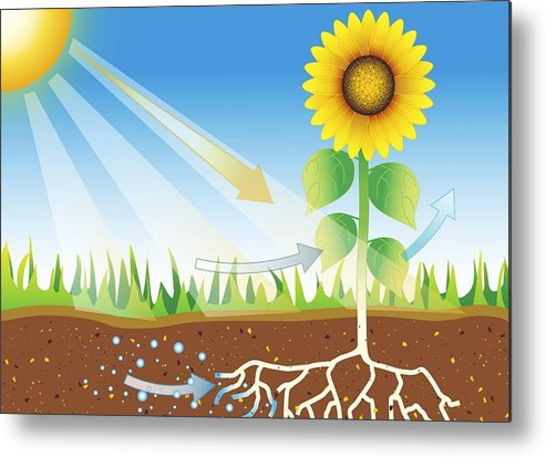 Sunflower Metal Print featuring the photograph Photosynthesis, Artwork by David Nicholls