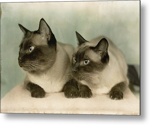 Portraits Metal Print featuring the photograph A Pair Of Siamese Cats by Willard Culver