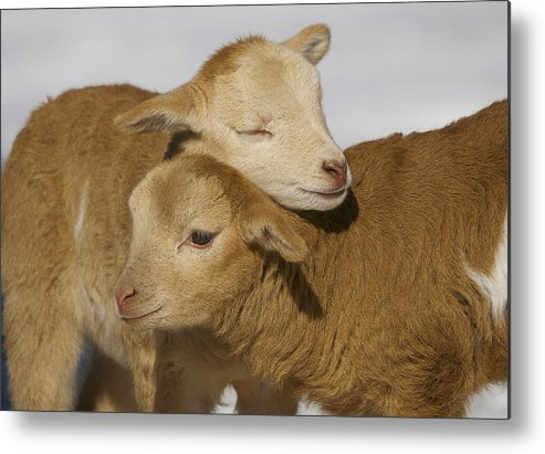 Horizontal Metal Print featuring the photograph Little Lambs by Ryan Courson Photography