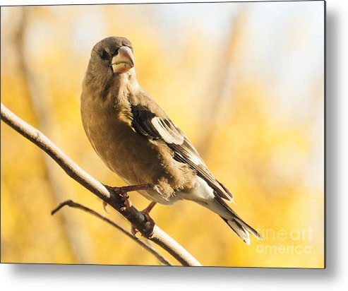 Grosbeak Metal Print featuring the photograph Pretty In Yellow by Cheryl Baxter