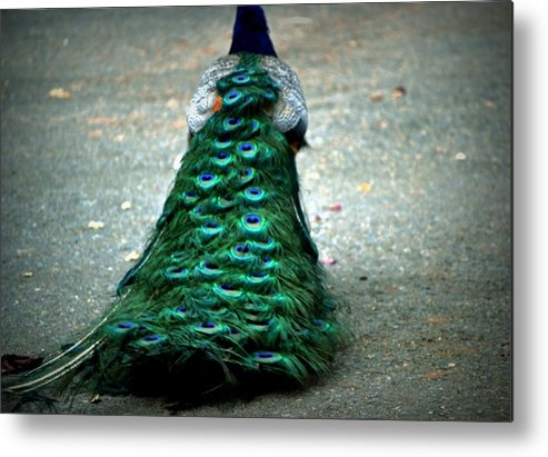 Peacock Metal Print featuring the photograph Retreat by Rima Biswas