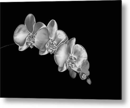 Horizontal Metal Print featuring the photograph Silver Phaelenopsis Orchid On A Black Background by Mike Hill