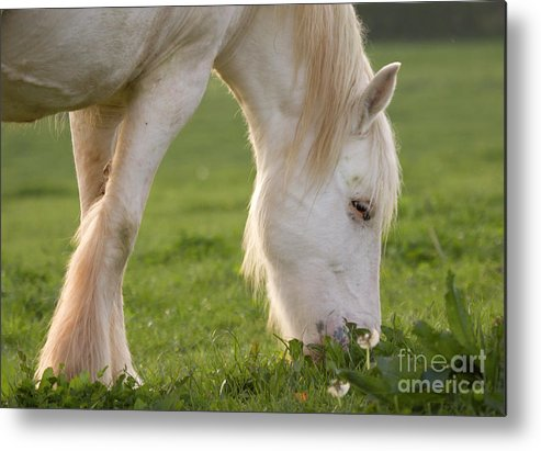 Horse Metal Print featuring the photograph White Horse by Angel Ciesniarska