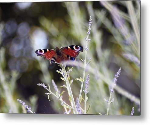 Photo Metal Print featuring the photograph Butterfly On Lavender by Mirinda Kossoff