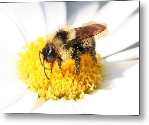 Bumble Bee Metal Print featuring the photograph Buzz by Jason Hochman