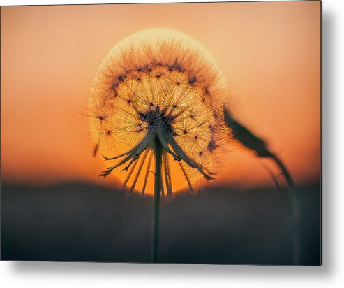 Dandelion Metal Print featuring the photograph Dandelion In The Sun by Deon Grandon
