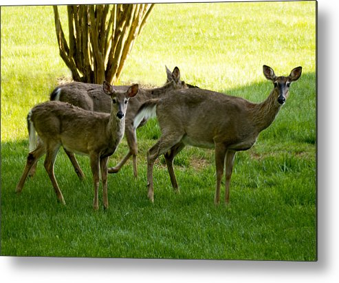 Deer Metal Print featuring the photograph Dear Run by B Wayne Mullins