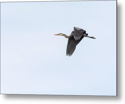 Great Blue Heron Metal Print featuring the photograph Great Blue Heron 2017-1 by Thomas Young